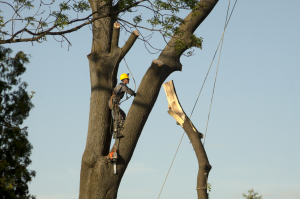 professional-tree-pruning